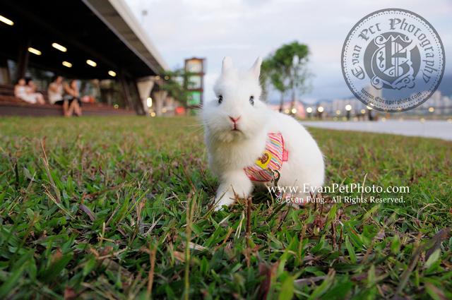 Miffy,侏儒兔,兔兔攝影,寵物攝影,專業寵物攝影,寵物攝影服務,兔兔攝影服務,戶外寵物攝影