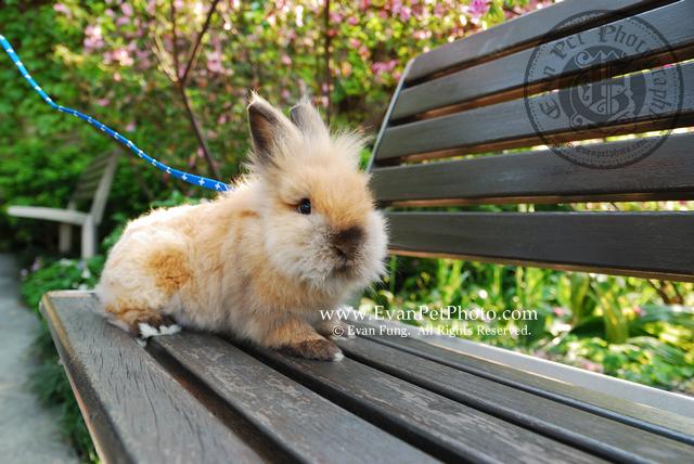 獅子兔,兔兔攝影,寵物攝影,專業寵物攝影,寵物攝影服務,兔兔攝影服務