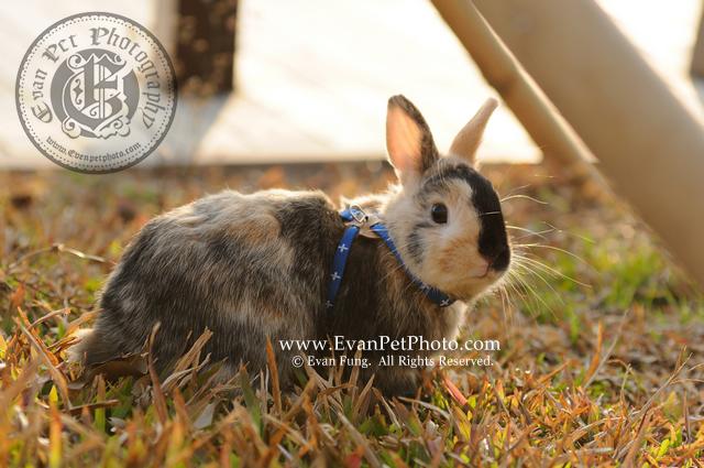 Boxing,侏儒兔,兔兔攝影,寵物攝影,專業寵物攝影,寵物攝影服務,兔兔攝影服務