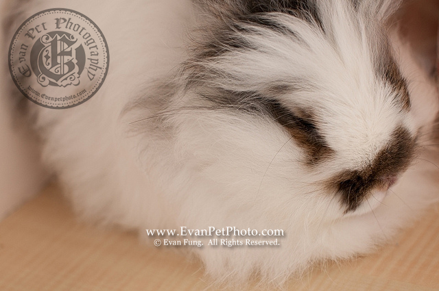 LingLing,貓貓兔,兔兔攝影,寵物攝影,專業寵物攝影,寵物攝影服務,兔兔攝影服務,上門寵物攝影,家居寵物攝影