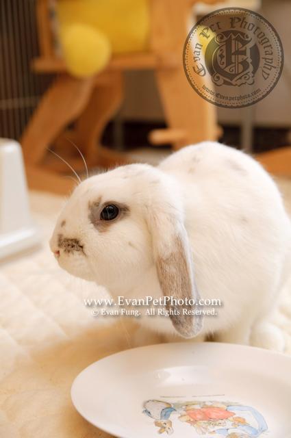 米米,賓尼兔,兔兔攝影,寵物攝影,專業寵物攝影,寵物攝影服務,兔兔攝影服務,上門寵物攝影,家居寵物攝影