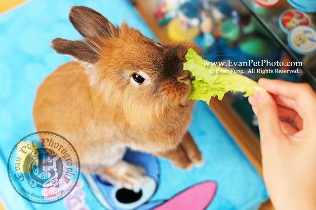 聰聰B,獅子兔,兔兔攝影,寵物攝影,專業寵物攝影,寵物攝影服務,兔兔攝影服務,上門寵物攝影,家居寵物攝影