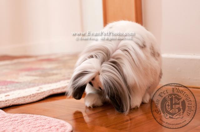 電王,賓尼兔,兔兔攝影,寵物攝影,專業寵物攝影,寵物攝影服務,兔兔攝影服務,上門寵物攝影,家居寵物攝影