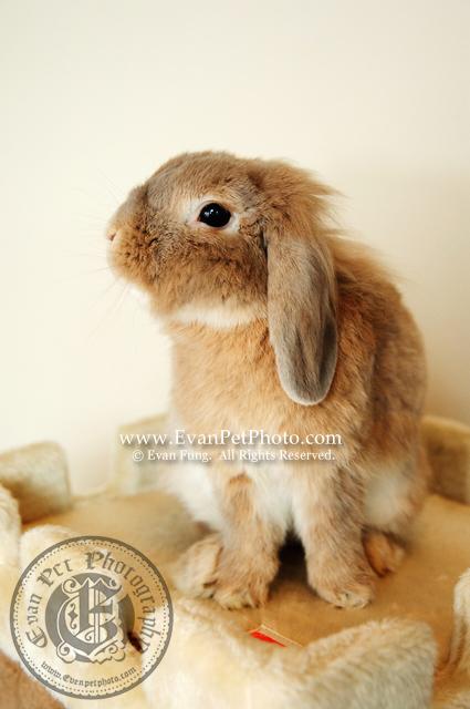 端端,賓尼兔,兔兔攝影,寵物攝影,專業寵物攝影,寵物攝影服務,兔兔攝影服務,上門寵物攝影,家居寵物攝影