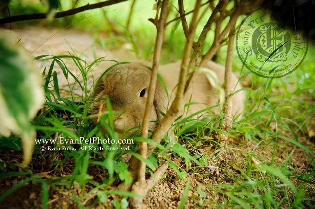 端端,賓尼兔,兔兔攝影,寵物攝影,專業寵物攝影,寵物攝影服務,兔兔攝影服務,戶外寵物攝影
