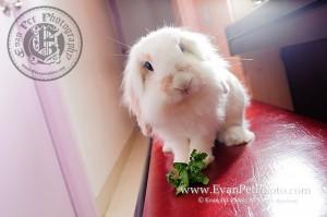 賓尼兔,兔兔攝影,寵物攝影,專業寵物攝影,寵物攝影服務,兔兔攝影服務,上門寵物攝影,家居寵物攝影