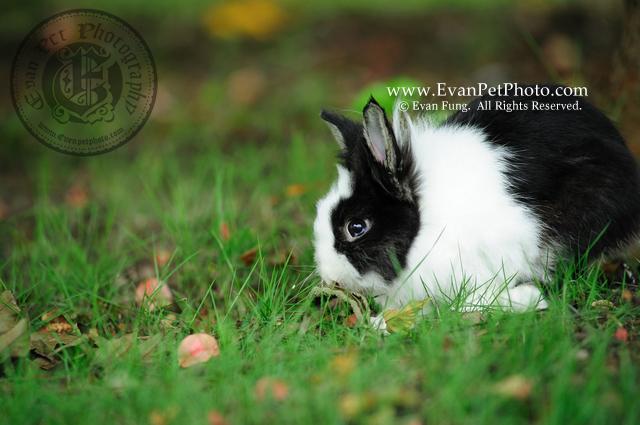 布丁,侏儒兔,兔兔攝影,寵物攝影,專業寵物攝影,寵物攝影服務,兔兔攝影服務
