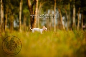 寵物攝影,專業寵物攝影,狗狗攝影,寵物攝影服務,攝影服務,戶外寵物攝影,戶外狗狗攝影,專業戶外寵物攝影,chiwawa,芝娃娃,吉娃娃,b女