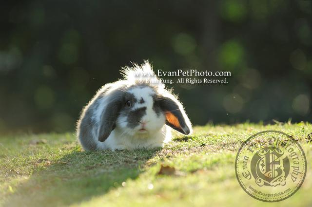 多士,貓貓兔,兔兔攝影,寵物攝影,專業寵物攝影,寵物攝影服務,兔兔攝影服務,戶外寵物攝影