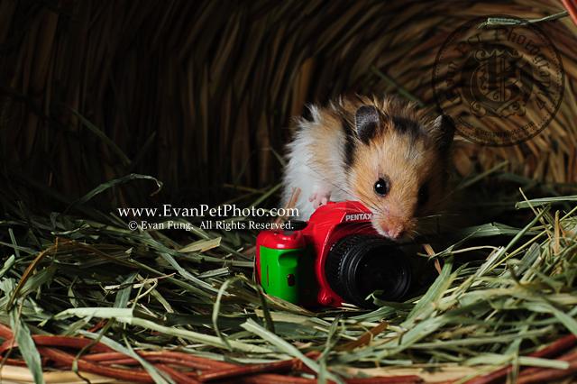 熊仔鼠,倉鼠攝影,寵物攝影,影樓寵物攝影,專業寵物攝影,攝影服務