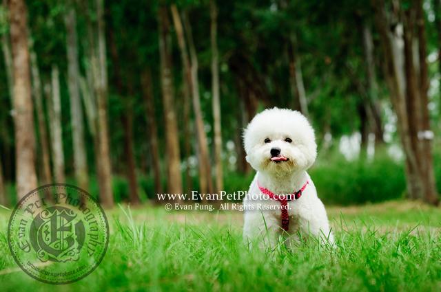 寵物攝影,專業寵物攝影,狗狗攝影,寵物攝影服務,攝影服務,戶外寵物攝影,戶外狗狗攝影,專業戶外寵物攝影,玩具貴婦,貴婦犬,poodle