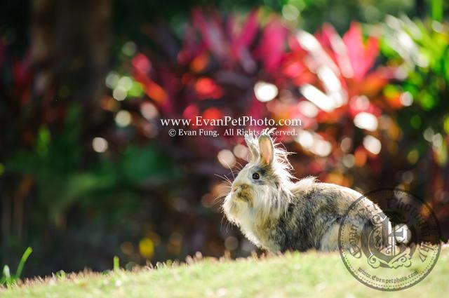 Monie,獅子兔,兔兔攝影,寵物攝影,專業寵物攝影,寵物攝影服務,兔兔攝影服務