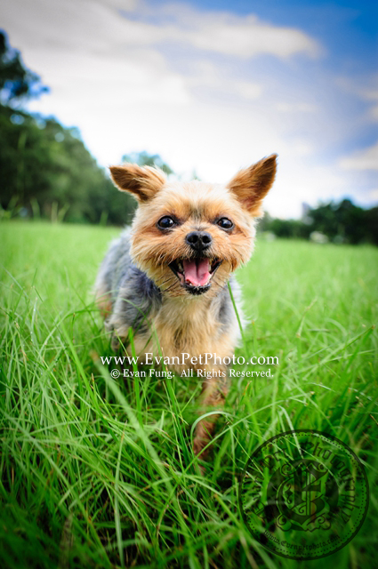 寵物攝影,專業寵物攝影,狗狗攝影,寵物攝影服務,攝影服務,戶外寵物攝影,戶外狗狗攝影,專業戶外寵物攝影,約瑟爹利,Yorkshire,Terrier,YorkshireTerrier