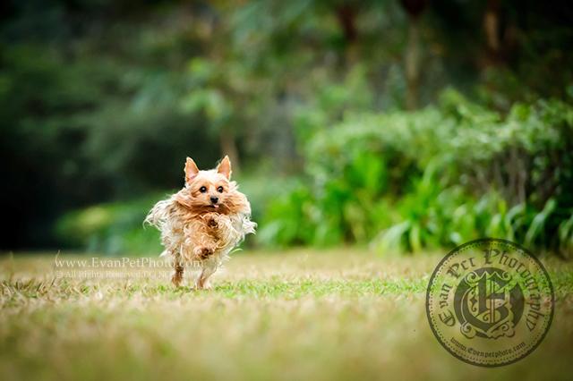 寵物攝影,專業寵物攝影,專業攝影,狗狗攝影,寵物攝影服務,攝影服務,戶外寵物攝影,戶外狗狗攝影,專業戶外寵物攝影,約瑟爹利,Yorkshire,Terrier,YorkshireTerrier