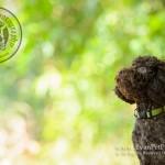 戶外寵物攝影, 專業寵物攝影,狗狗寫真, 寵物寫真, 攝影服務,poodle寫真,poodle攝影,玩具貴婦攝影,專業戶外攝影