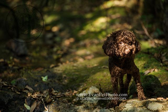 戶外寵物攝影, 專業寵物攝影,狗狗寫真, 寵物寫真, 攝影服務,poodle寫真,poodle攝影,玩具貴婦攝影