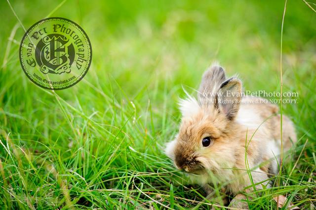 bunny,rabbit,獅子兔,大埔海濱公園,兔兔攝影,影兔,兔兔寫真,獅子兔寫真,香港兔攝影師,兔兔攝影師,戶外影兔,戶外兔攝影,專業兔攝影