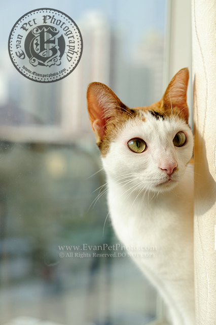 家貓, 上門貓攝影,上門寵物攝影,貓咪攝影,上門貓貓攝影,家居寵物攝影,貓貓攝影服務,上門影貓