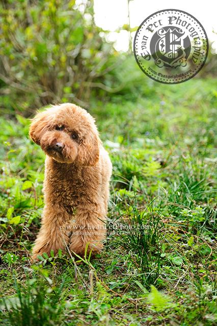 戶外寵物攝影, 專業寵物攝影,狗狗寫真, 寵物寫真, 攝影服務,poodle寫真,poodle攝影,玩具貴婦攝影,專業戶外攝影,山頂公園,專業狗狗攝影,戶外狗攝影