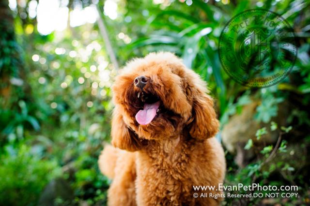 寵物攝影,寵物拍攝,專業寵物攝影,狗狗攝影,寵物寫真,寵物攝影服務,攝影服務,戶外寵物攝影,戶外狗狗攝影,專業戶外寵物攝影,香港寵物攝影,hong kong pet photographer, pet photography hong kong,寵物攝影師,香港寵物攝影師,poodle, poodle photography, outdoor pet photography hong kong,貴婦犬攝影,貴婦狗攝影,山頂公園