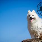 山頂公園,銀狐,銀狐犬,寵物攝影,戶外狗狗攝影,戶外寵物攝影,專業戶外寵物攝影,攝影服務,專業戶外狗狗攝影,專業銀狐攝影