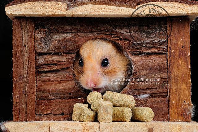 熊仔鼠,倉鼠,倉鼠攝影,小動物攝影,影樓攝影,寵物攝影,上門寵物攝影,上門倉鼠攝影