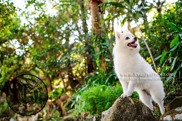 銀狐,銀狐犬,寵物攝影,戶外狗狗攝影,戶外寵物攝影,專業戶外寵物攝影,攝影服務,專業戶外狗狗攝影,專業銀狐攝影, SILVER FOX,銀狐攝影