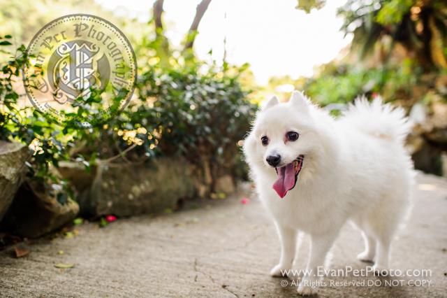 寵物攝影,寵物拍攝,專業寵物攝影,狗狗攝影,寵物寫真,寵物攝影服務,攝影服務,戶外寵物攝影,戶外狗狗攝影,專業戶外寵物攝影,香港寵物攝影,hong kong pet photographer, pet photography hong kong,寵物攝影師,香港寵物攝影師,銀狐犬, SILVER FOX photography, outdoor pet photography hong kong,銀狐犬攝影,銀狐攝影,山頂公園