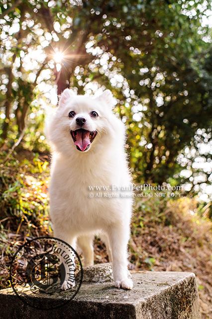 山頂公園,銀狐,銀狐犬,寵物攝影,戶外狗狗攝影,戶外寵物攝影,專業戶外寵物攝影,攝影服務,專業戶外狗狗攝影,專業銀狐攝影,dog photography, silver fox, dog photographer, professional dog photography