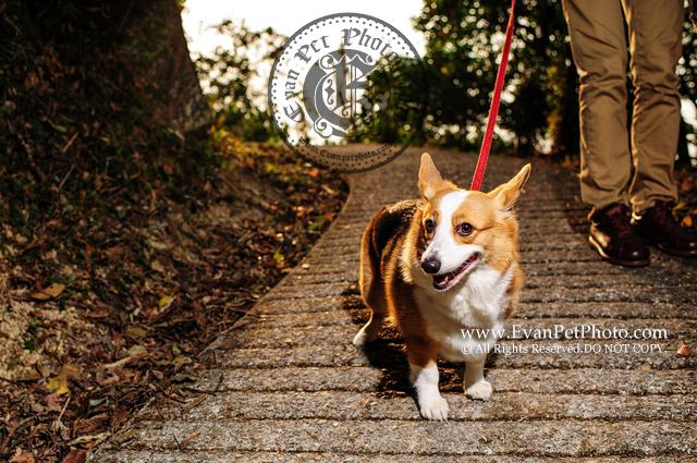 戶外寵物攝影, 專業寵物攝影,狗狗寫真, 寵物寫真, 攝影服務,哥基犬,哥基狗, Corgi寫真, Corgi攝影,哥基犬攝影,專業戶外攝影,專業狗狗攝影,戶外狗攝影,深涌