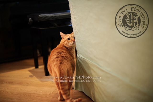 上門寵物攝影,貓貓攝影,上門貓攝影