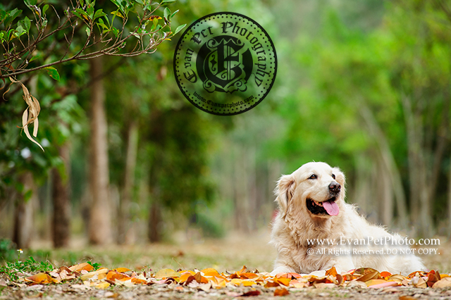 寵物攝影,戶外狗狗攝影,戶外寵物攝影,專業戶外寵物攝影,攝影服務,專業戶外狗狗攝影,golden retriever,goldenretriever,dog photography,pet photography, pet photographer, 金毛尋回犬,金毛犬,金毛尋回犬攝影