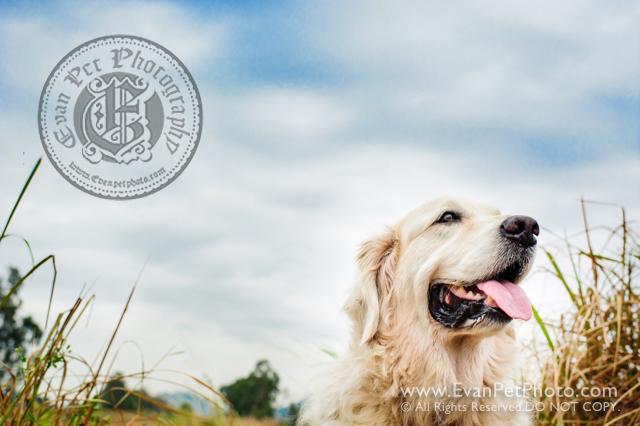 寵物攝影,寵物拍攝,專業寵物攝影,狗狗攝影,寵物寫真,寵物攝影服務,攝影服務,戶外寵物攝影,戶外狗狗攝影,專業戶外寵物攝影,香港寵物攝影,hong kong pet photographer, pet photography hong kong,寵物攝影師,香港寵物攝影師,golden retriever, golden retriever photography, outdoor pet photography hong kong,金毛尋回犬攝影,金毛尋回犬,南生圍