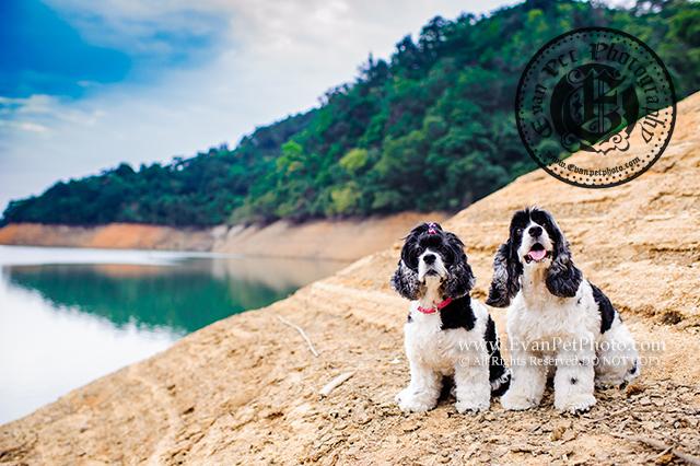 美國曲架犬,曲架,曲架犬,cocker,americancocker, americal cocker, spaniel, merical cocker spaniel,寵物攝影,戶外寵物攝影,狗狗攝影,戶外狗攝影,戶外狗狗攝影,曲架攝影,cocker photography, dog photography, outdoor dog photography