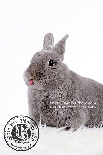 侏儒兔,兔兔攝影,寵物攝影,影樓寵物攝影,專業攝影服務,專業寵物攝影,寵物攝影,兔兔影樓,影樓寵物,rabbit photography,小動物攝影,bunny photography,Netherland Dwarf,荷蘭侏儒兔