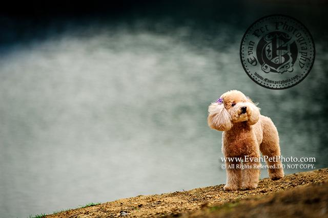 brown poodle,flying dog,poodle,poodle photography,poodle寫真,poodle攝影,professional poodle photography,shing mun reservoir,城門水塘,寵物寫真,專業寵物攝影,專業戶外攝影,專業狗狗攝影,山頂公園,戶外寵物攝影,戶外狗攝影,戶外貴婦犬,攝影服務,狗狗寫真,玩具貴婦攝影,貴婦犬,貴婦犬攝影,貴婦狗,貴賓犬,飛行犬