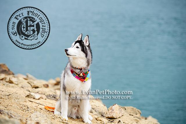 哈士奇,雪橇犬,雪橇,雪橇攝影,迷你牧羊犬,牧羊犬,牧羊犬攝影,刺蝟攝影,寵物攝影,戶外寵物攝影,狗狗攝影,戶外狗攝影,husky photography, dog photography, outdoor dog photography, Sheepdog, Sheepdog photography,hedgehog,hedgehog photography,刺蝟寫真