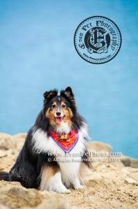 迷你牧羊犬,牧羊犬,牧羊犬攝影,寵物攝影,戶外寵物攝影,狗狗攝影,戶外狗攝影, dog photography, outdoor dog photography, Sheepdog, Sheepdog photography