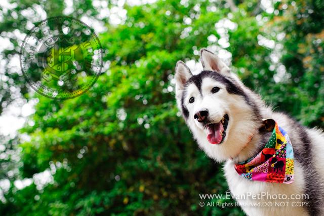 寵物攝影,寵物拍攝,專業寵物攝影,狗狗攝影,寵物寫真,寵物攝影服務,攝影服務,戶外寵物攝影,戶外狗狗攝影,專業戶外寵物攝影,香港寵物攝影,hong kong pet photographer, pet photography hong kong,寵物攝影師,香港寵物攝影師,dog photography, hong kong husky photography, husky photography, outdoor pet photography hong kong,雪橇犬攝影,雪橇攝影, 城門水塘