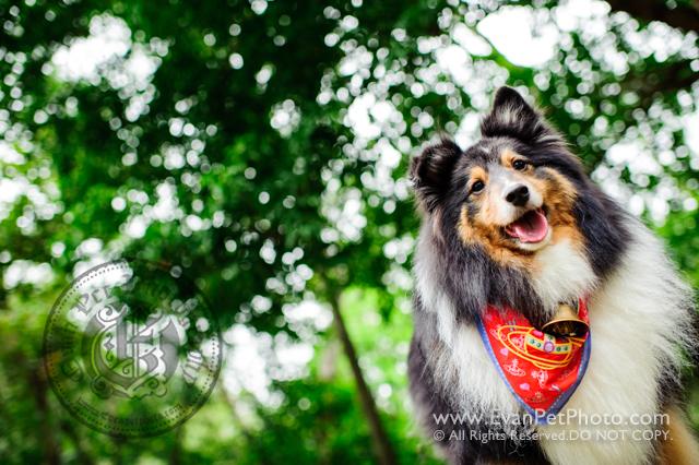 寵物攝影,寵物拍攝,專業寵物攝影,狗狗攝影,寵物寫真,寵物攝影服務,攝影服務,戶外寵物攝影,戶外狗狗攝影,專業戶外寵物攝影,香港寵物攝影,hong kong pet photographer, pet photography hong kong,寵物攝影師,香港寵物攝影師,dog photography, hong kong sheepdog photography, sheepdog photography, outdoor pet photography hong kong,牧羊犬攝影,牧羊攝影, 城門水塘