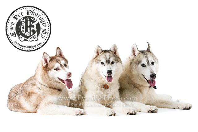 寵物影樓,影樓寵物攝影,寵物攝影,哈士奇,雪橇犬,雪橇,雪橇攝影,雪橇影樓攝影,husky, husky photography, husky studio photography,pet photography, dog photography, 專業寵物攝影,狗影樓,香港寵物攝影,香港寵物影樓