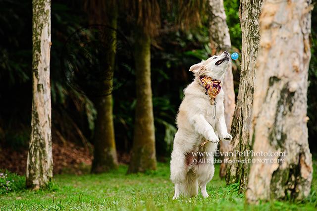 dog photographer, dog photography, golden retriever, goldenretriever, pet photographer, Pet Photography,寵物攝影, 專業戶外寵物攝影, 專業戶外狗狗攝影, 戶外寵物攝影, 戶外狗狗攝影, 攝影服務, 金毛尋回犬, 金毛尋回犬寫真, 金毛尋回犬攝影, 金毛犬,山頂公園,victoria peak garden