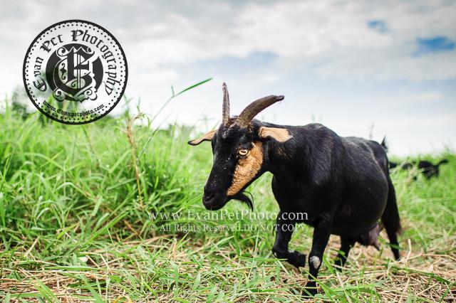 羊,黑羊,羊攝影,動物攝影,香港動物攝影,寵物攝影,香港寵物攝影,寵物攝影師,戶外寵物攝影,戶外動物攝影,南生圍