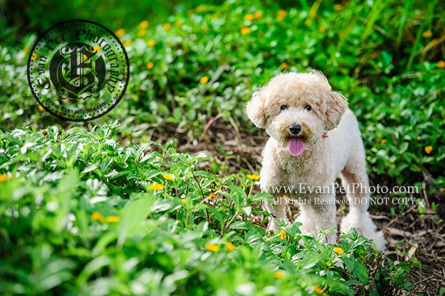 狗攝影,狗狗攝影,寵物寫真,專業寵物攝影,專業戶外攝影,專業狗狗攝影,戶外寵物攝影,戶外狗攝影,戶外貴婦犬,攝影服務,狗狗寫真,玩具貴婦攝影,貴婦犬,貴婦犬攝影,貴婦狗,貴賓犬,poodle,poodle photography,toy poodle,poodle攝影,南生圍