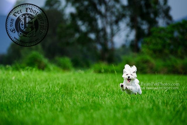 寵物攝影,專業寵物攝影,狗狗攝影,寵物寫真,寵物攝影服務,攝影服務,戶外寵物攝影,戶外狗狗攝影,專業戶外寵物攝影,魔天使,魔天使攝影,Maltese,馬爾濟斯,Maltese photography,hong kong pet photographer, pet photography hong kong,寵物攝影師,香港寵物攝影師