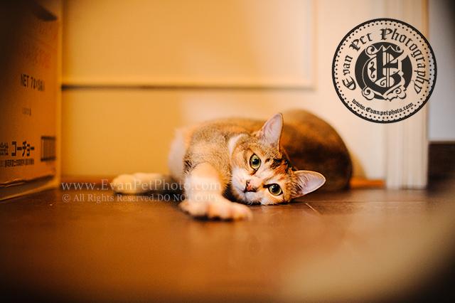 上門寵物攝影,貓貓攝影,上門貓攝影,cat photography, cat photographer,貓咪攝影,貓影樓,貓攝影師,貓,家貓,家貓攝影,專業貓攝影,貓攝影