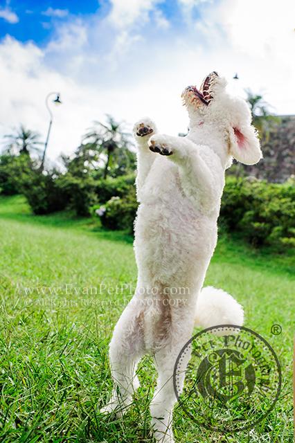 寵物攝影,專業寵物攝影,狗狗攝影,寵物寫真,寵物攝影服務,攝影服務,戶外寵物攝影,戶外狗狗攝影,專業戶外寵物攝影,比熊犬,比熊,比熊犬攝影,hong kong pet photographer, pet photography hong kong,寵物攝影師,香港寵物攝影師