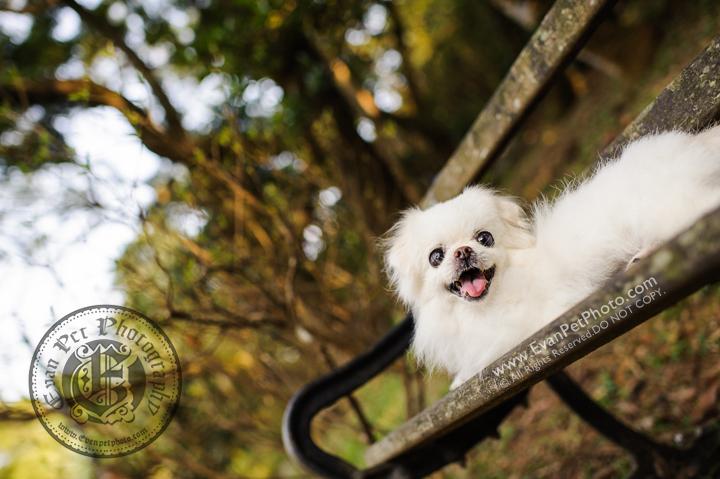 hong kong pet photographer, pet photography hong kong, 寵物寫真, 寵物攝影, 寵物攝影師, 寵物攝影服務, 專業寵物攝影, 專業戶外寵物攝影, 戶外寵物攝影, 戶外狗狗攝影, 攝影服務, 北京狗,北京狗攝影, 狗狗攝影, 香港寵物攝影師