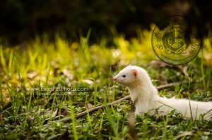 貂鼠,貂鼠攝影,ferret photography, outdoor ferret photography, 戶外貂鼠攝影,戶外寵物攝影,寵物攝影, pet photography, outdoor pet photography, hong kong pet photography