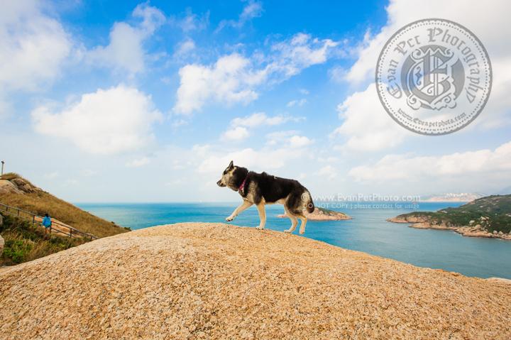 寵物攝影,寵物拍攝,專業寵物攝影,狗狗攝影,寵物寫真,寵物攝影服務,攝影服務,戶外寵物攝影,戶外狗狗攝影,專業戶外寵物攝影,香港寵物攝影,hong kong pet photographer, pet photography hong kong,寵物攝影師,香港寵物攝影師,dog photograph, hong kong dog photography, outdoor pet photography hong kong, 哈士奇,HUSKY,雪橇犬,husky photography, outdoor hustky, natural dog photography